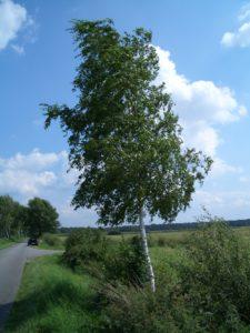 Heilkraft der Bäume